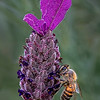 Maker:  Dale Lindenberg<br /> Title:  Bee & Flower #2<br /> Category:  Macro/Close Up<br /> Score:  11