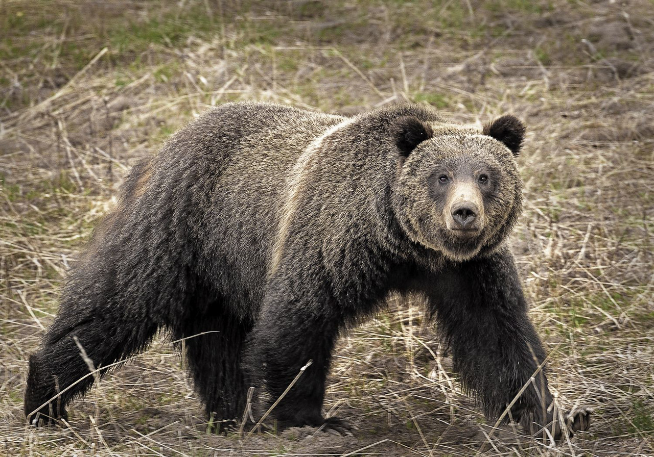 Maker:  Wayne Tabor Title:  Young Male Grizzly Category:  Wildlife Score:  14