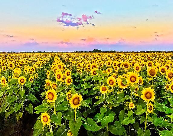 Maker:  Dale Lindenberg<br /> Title:  Field of Sunflowers<br /> Category:  Landscape/Travel<br /> Score:  11
