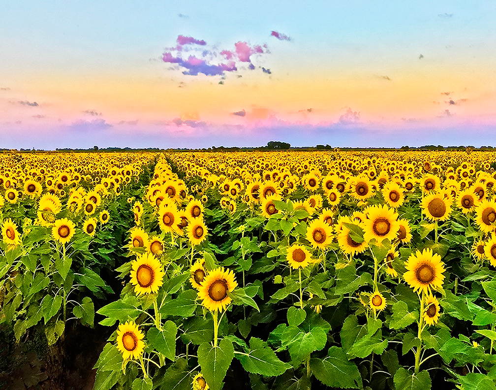 Maker:  Dale Lindenberg Title:  Field of Sunflowers Category:  Landscape/Travel Score:  11