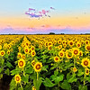 Maker:  Dale Lindenberg<br /> Title:  Field of Sunflowers<br /> Category:  Landscape/Travel<br /> Score:  11