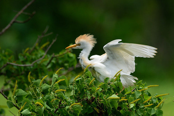 Maker:  Jim Lawrence<br /> Title:  Cattle Egret<br /> Category:  Wildlife<br /> Score:  12