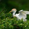 Maker:  Jim Lawrence<br /> Title:  Cattle Egret<br /> Category:  Wildlife<br /> Score:  12