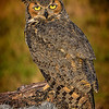 Maker:  Dale Lindenberg<br /> Title:  Great Horned Owl<br /> Category:  Wildlife<br /> Score:  13