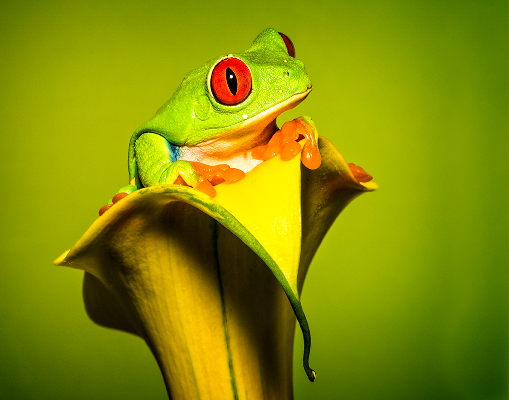 Maker:  Dale Lindenberg Title:  Red Eye Tree Frog Category:  Pictorial Score:  12