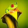 Maker:  Dale Lindenberg<br /> Title:  Red Eye Tree Frog<br /> Category:  Pictorial<br /> Score:  12