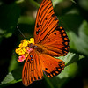 Maker:  Dirk Sanderson	<br /> Title:  Gulf Fritilary		<br /> Category: Pictorial<br /> Score:  11