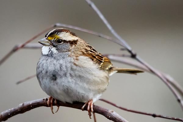 Maker: Dirk J. Sanderson<br /> Title:  White Throated Sparrow<br /> Category: Wildlife<br /> Score:  11