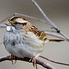 Maker: Dirk J. Sanderson<br /> Title:  White Throated Sparrow<br /> Category: Wildlife<br /> Score:  11