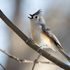 Maker: Dirk Sanderson<br /> Title:  Tufted Titmouse<br /> Category:  Wildlife<br /> Score:  11