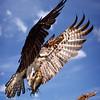 Maker:  Dale Lindenberg<br /> Title:  Osprey with Fish<br /> Category:  Wildlife<br /> Score:  13