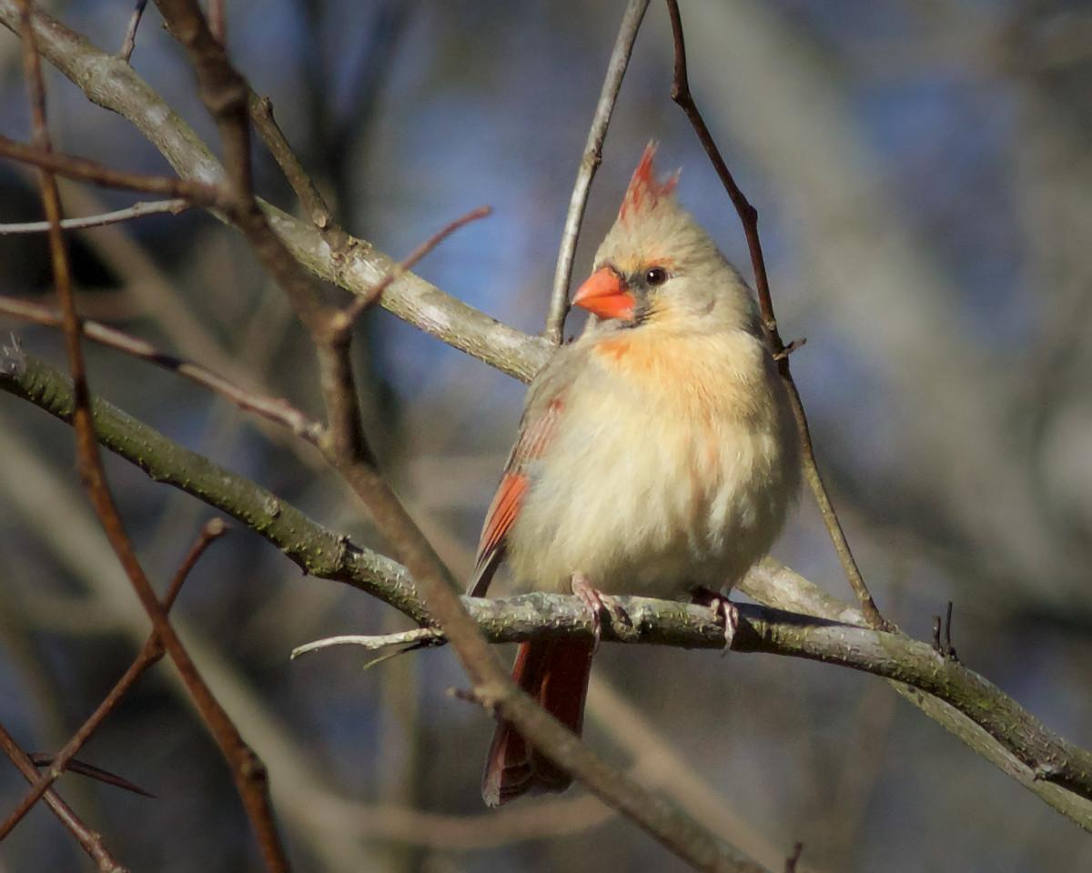 Maker:  Danny Haddox Title:  Momma Redbird Category:  Wildlife Score:  11