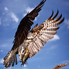 Maker:  Dale Lindenberg<br /> Title:  Osprey with Catch<br /> Category:  Wildlife<br /> Score:  11