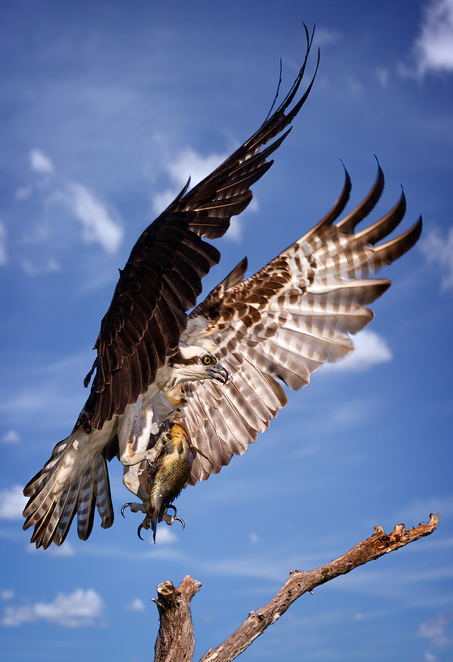 Maker:  Dale Lindenberg Title:  Osprey with Catch Category:  Wildlife Score:  11