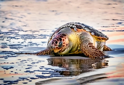 Maker:  Dale Lindenberg Title:  Sea Turtle Category:  Wildlife Score:  15