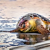 Maker:  Dale Lindenberg<br /> Title:  Sea Turtle<br /> Category:  Wildlife<br /> Score:  15