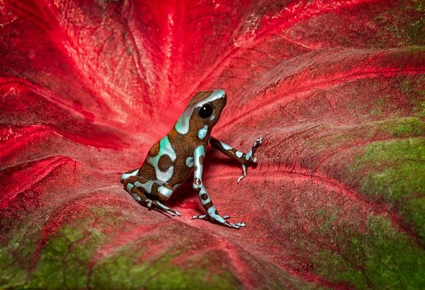 Maker:  Dale Lindenberg<br /> Title:  Frog #3<br /> Category:  Macro/Close Up<br /> Score:  13