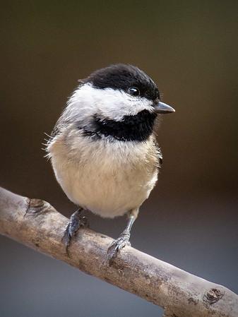 Maker:  Dwayne Anders<br /> Title:  Chick<br /> Category:  Wildlife<br /> Score:  13