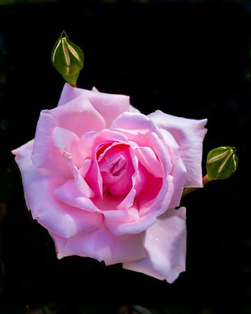 Maker:  Roger Lockridge<br /> Title:  Pretty in Pink<br /> Category:  Pictorial<br /> Score:  11