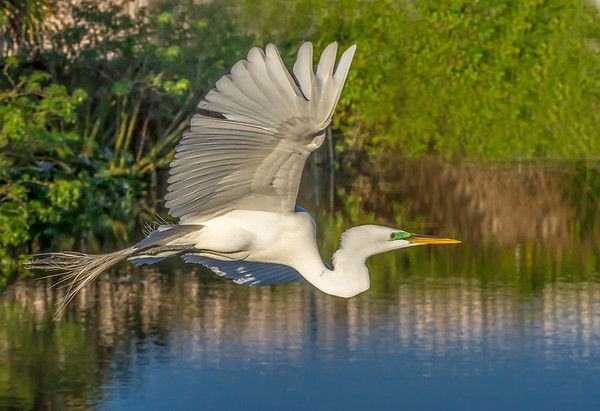 Maker: Larry Phillips<br /> Title:   Grear White Heron in Flight<br /> Category:  Wildlife<br /> Score:  12