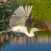 Maker: Larry Phillips<br /> Title:   Grear White Heron in Flight<br /> Category:  Wildlife<br /> Score:  12