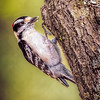 Maker:  Wayne Tabor<br /> Title:  Downy Woodpecker<br /> Category:  Wildlife<br /> Score:  13