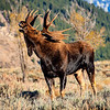 Maker:  Mike Smith<br /> Title:  Moose Snorting<br /> Category:  Wildlife<br /> Score:  14
