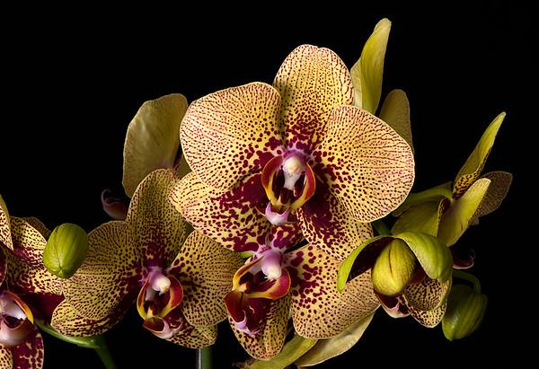 Maker:  Ronald Austin<br /> Title:  Jungle Cat Orchid<br /> Category:  Macro/Close Up<br /> Score:  12