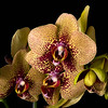 Maker:  Ronald Austin<br /> Title:  Jungle Cat Orchid<br /> Category:  Macro/Close Up<br /> Score:  12