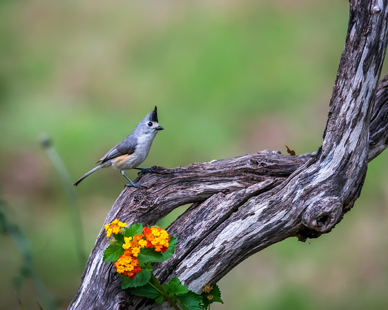 Maker:  Rickey Scroggins <br /> Title:  Black-crested Titmouse<br /> Category:  Pictorial<br /> Score:  13