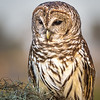 Maker:  Larry Phillips<br /> Title:  Barred Owl<br /> Category:  Pictorial<br /> Score:  15