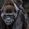 Maker:  Dale Lindenberg<br /> Title:  Ape & Baby<br /> Category:  Pictorial<br /> Score:  14