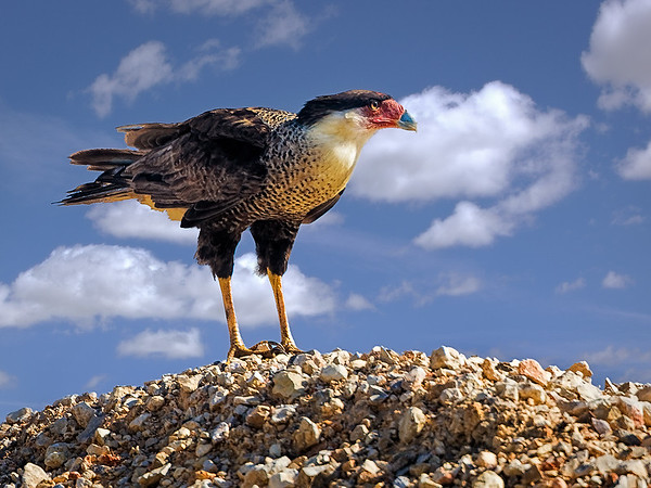 Maker:  Wayne Tabor<br /> Title:  Caracara on Rockpile<br /> Category:  Wildlife<br /> Score:  12