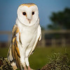Maker:  Larry Phillips<br /> Title:  Male Barn Owl<br /> Category:  Pictorial<br /> Score:  12