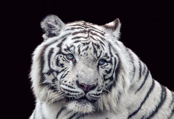 Maker:  Dale Lindenberg<br /> Title:  White Tiger<br /> Category:  Pictorial<br /> Score:  12