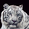 Maker:  Dale Lindenberg<br /> Title:  White Tiger<br /> Category:  Pictorial<br /> Score:  12