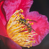 Maker:  Dale Robertson<br /> Title:  Wasp on Sasanka<br /> Category:  Macro/Close Up<br /> Score:  12