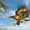 Maker:  Dale Lindenberg<br /> Title:  Immature Bald Eagle<br /> Category:  Wildlife<br /> Score:  12