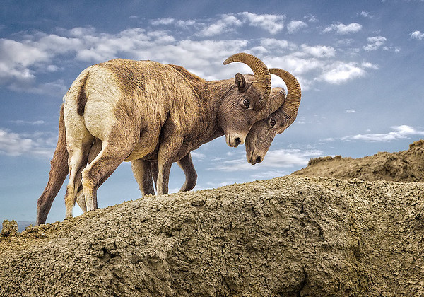 Maker:  Wayne Tabor<br /> Title:  Ram with 2 Heads<br /> Category:  Wildlife<br /> Score:  15