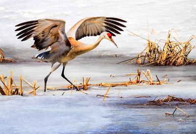 Maker:  Dale Lindenberg Title:  Sand Hill Crane Category:  Wildlife Score:  12