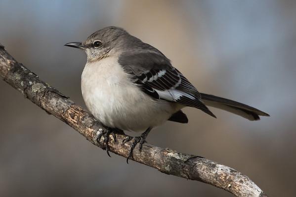 Maker:  Dirk Sanderson<br /> Title:  Fat Bird on Limb<br /> Category:  Wildlife<br /> Score:  13