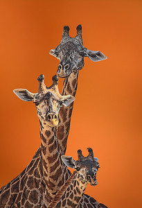Maker:  Dale Lindenberg Title:  Giraffes Category:  Pictorial Score:  12