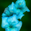 Maker:  Roger Hinton<br /> Title:  Gladiola Blues<br /> Category:  Pictorial<br /> Score:  12