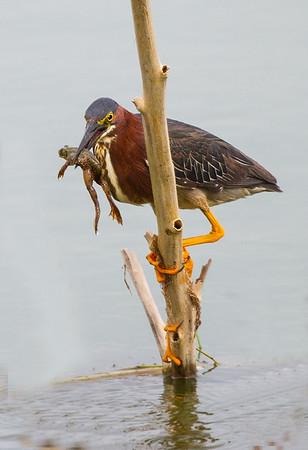 Maker:  Dale Lindenberg<br /> Title:  Green Heron with Frog<br /> Category:  Wildlife<br /> Score:  14