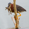 Maker:  Dale Lindenberg<br /> Title:  Green Heron with Frog<br /> Category:  Wildlife<br /> Score:  14
