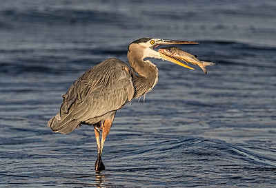Maker:  Dale Lindenberg Title:  Heron with Fish Category:  Wildlife Score:  14