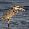Maker:  Dale Lindenberg<br /> Title:  Heron with Fish<br /> Category:  Wildlife<br /> Score:  14