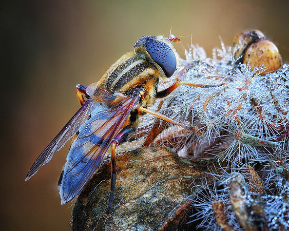 Maker:  Wayne Tabor<br /> Title:  Bee on Dewy Pod<br /> Category:  Macro/Close Up<br /> Score:  15