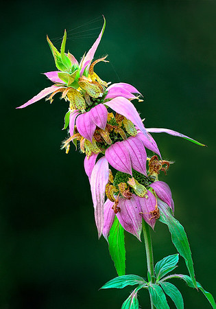 Maker:  Wayne Tabor<br /> Title:  Horsemint<br /> Category:  Macro/Close Up<br /> Score:  12