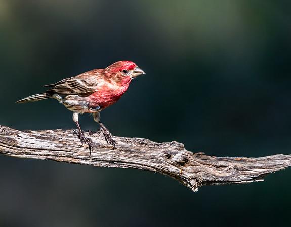 Maker:  Rickey Scroggins<br /> Title:  Purple Finch<br /> Category:  Wildlife<br /> Score:  13